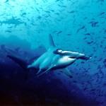 Sharks on CITES